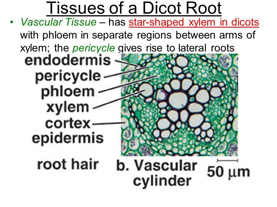 Tissues of a Dicot Root