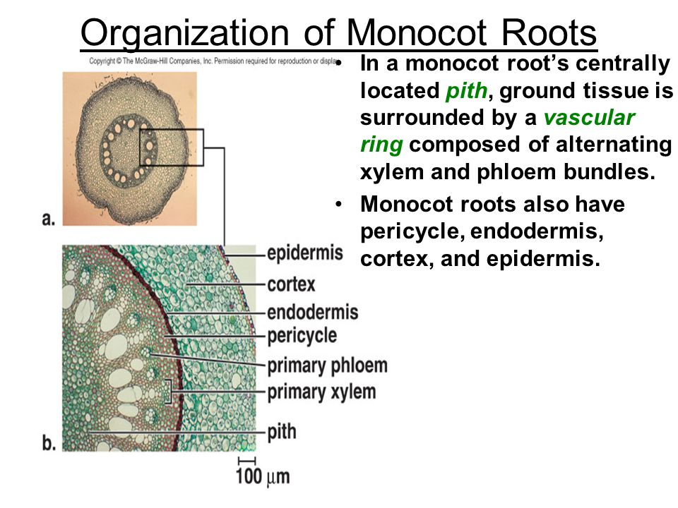Organization of Monocot Roots