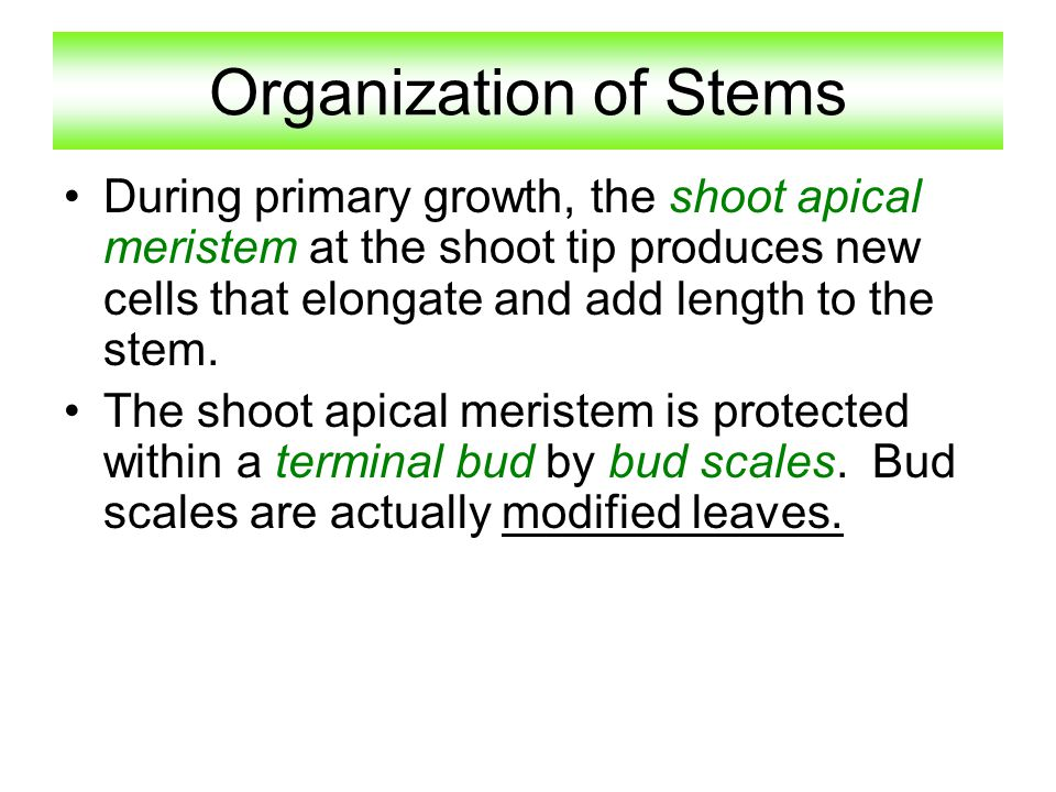 Organization of Stems During primary growth, the shoot apical meristem at the shoot tip produces new cells that elongate and add length to the stem.