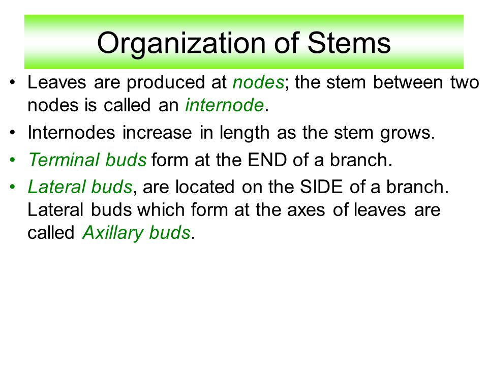Organization of Stems Leaves are produced at nodes; the stem between two nodes is called an internode.