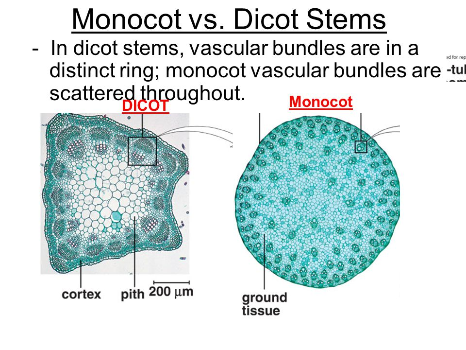 Monocot vs. Dicot Stems - In dicot stems, vascular bundles are in a distinct ring; monocot vascular bundles are scattered throughout.