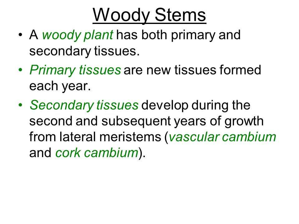 Woody Stems A woody plant has both primary and secondary tissues.
