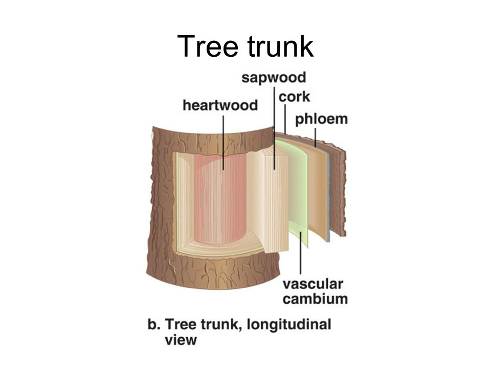 Tree trunk The relationship of bark (cork and phloem), vascular cambium, and wood is retained in a mature stem. The pith has disappeared.