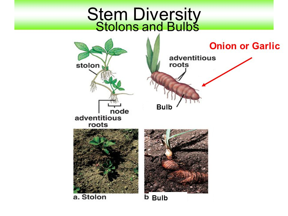 Stem Diversity Stolons and Bulbs Onion or Garlic Bulb Bulb