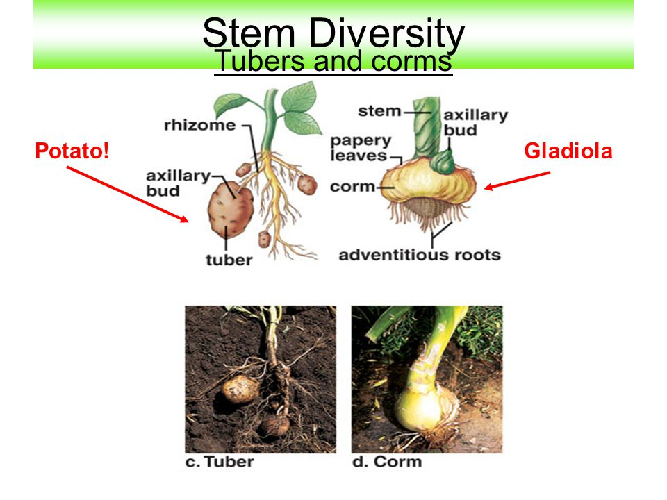 Stem Diversity Tubers and corms Potato! Gladiola