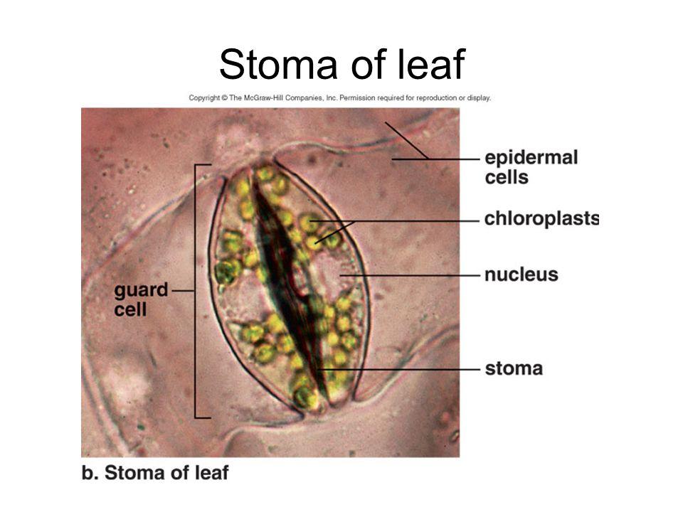 Stoma of leaf