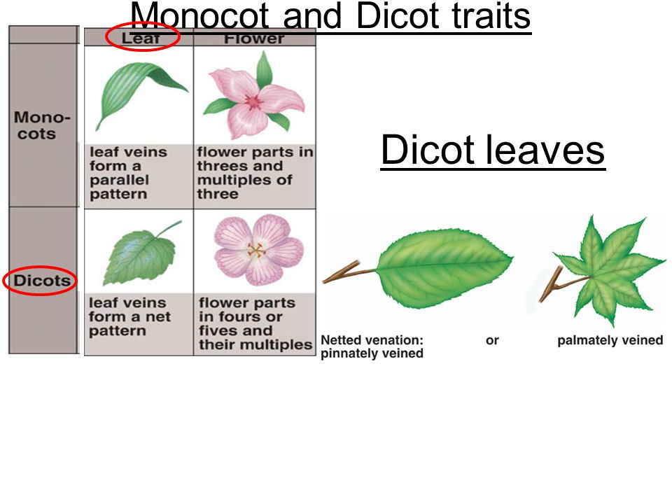 Monocot and Dicot traits
