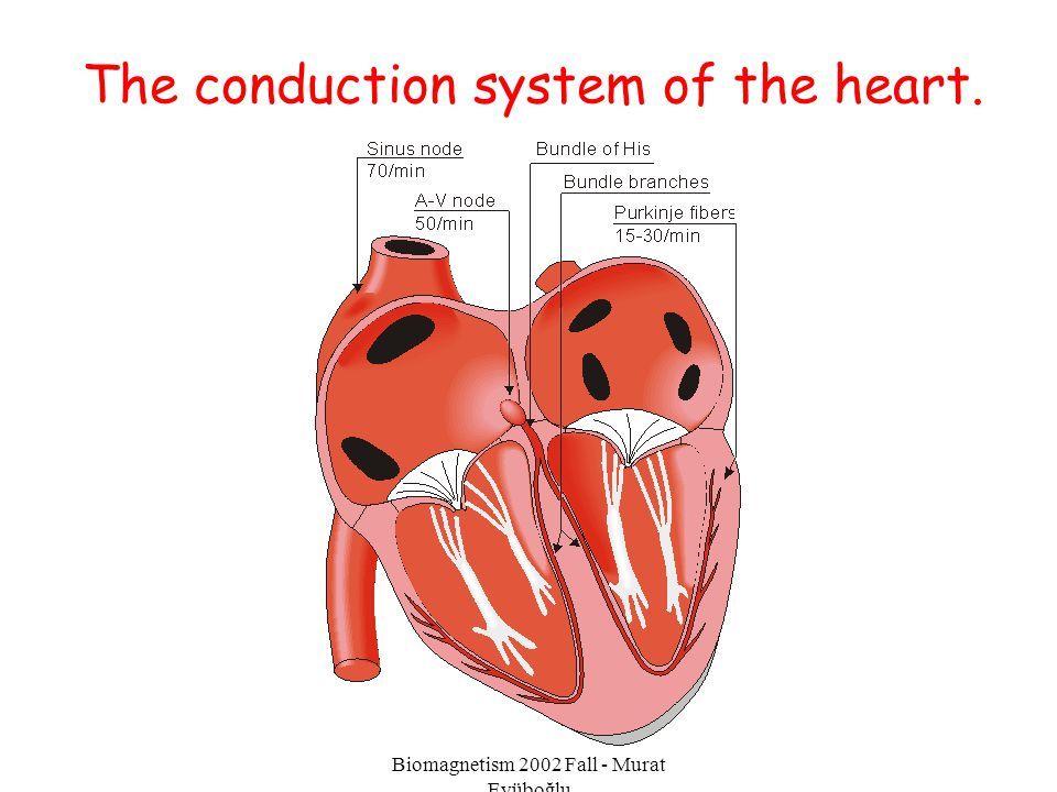 The conduction system of the heart.