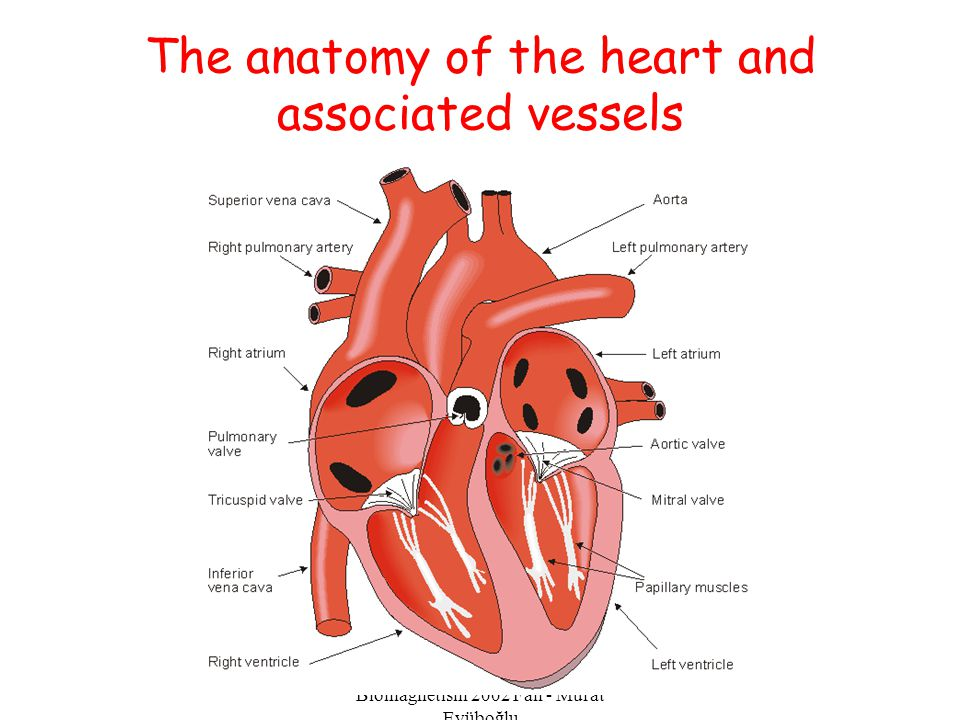 The anatomy of the heart and associated vessels