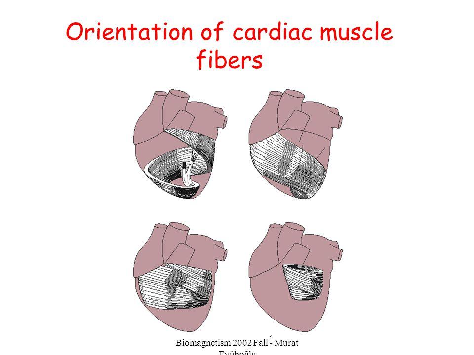 Orientation of cardiac muscle fibers