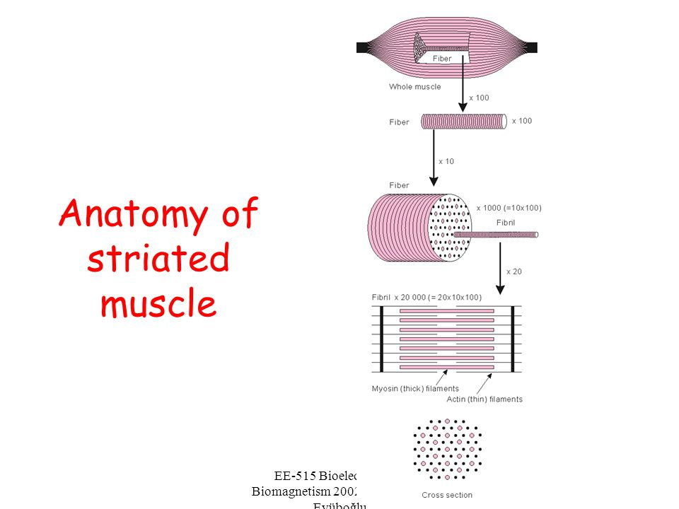 Anatomy of striated muscle