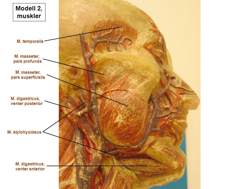 Modell 2, muskler M. temporalis M. masseter, pars profunda