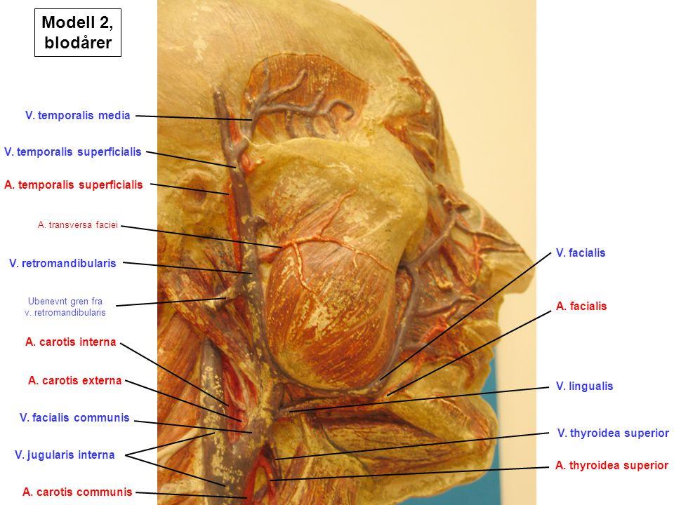 Modell 2, blodårer V. temporalis media V. temporalis superficialis