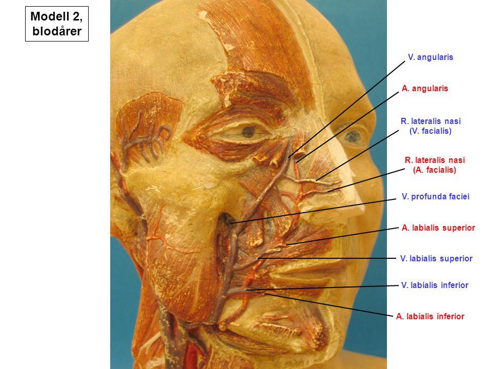 R. lateralis nasi (V. facialis) R. lateralis nasi (A. facialis)