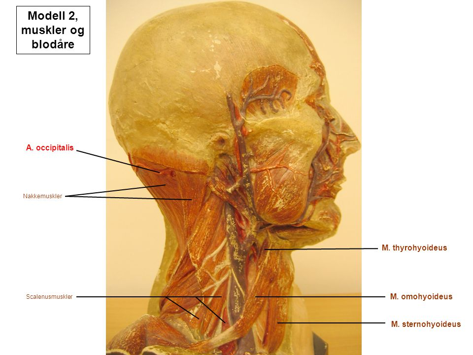 Modell 2, muskler og blodåre