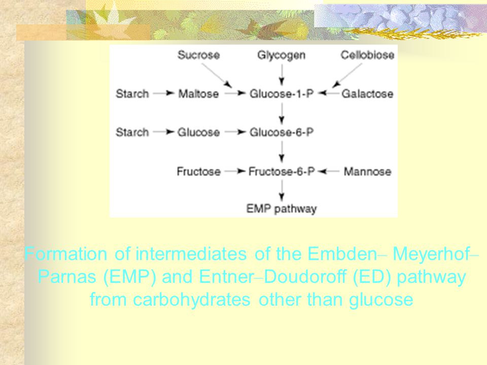 Formation of intermediates of the Embden– Meyerhof–Parnas (EMP) and Entner–Doudoroff (ED) pathway from carbohydrates other than glucose