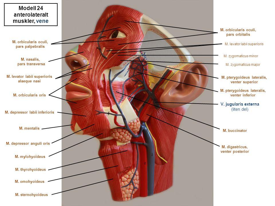 Modell 24 anterolateralt muskler, vene