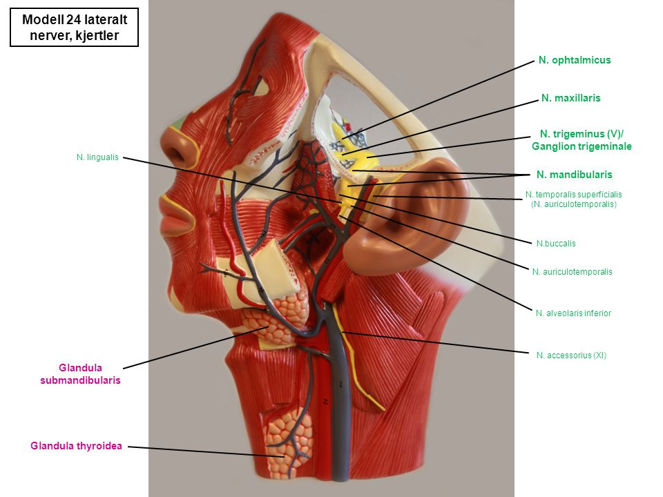 Modell 24 lateralt nerver, kjertler