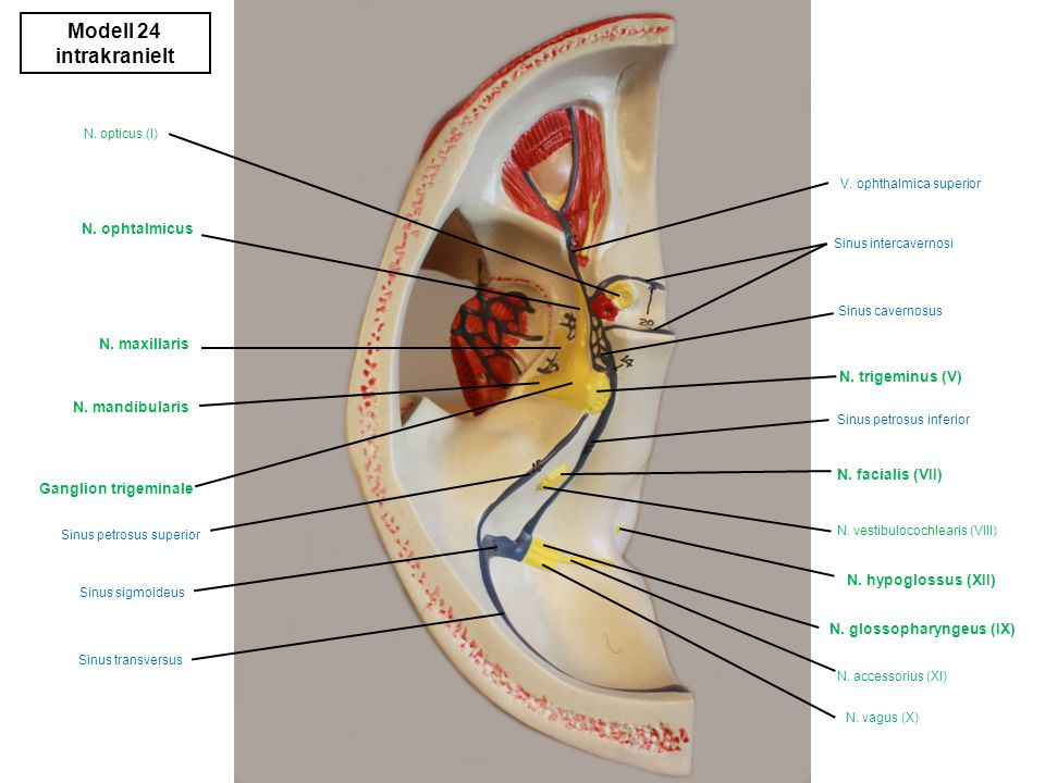 Modell 24 intrakranielt N. ophtalmicus N. maxillaris N. trigeminus (V)