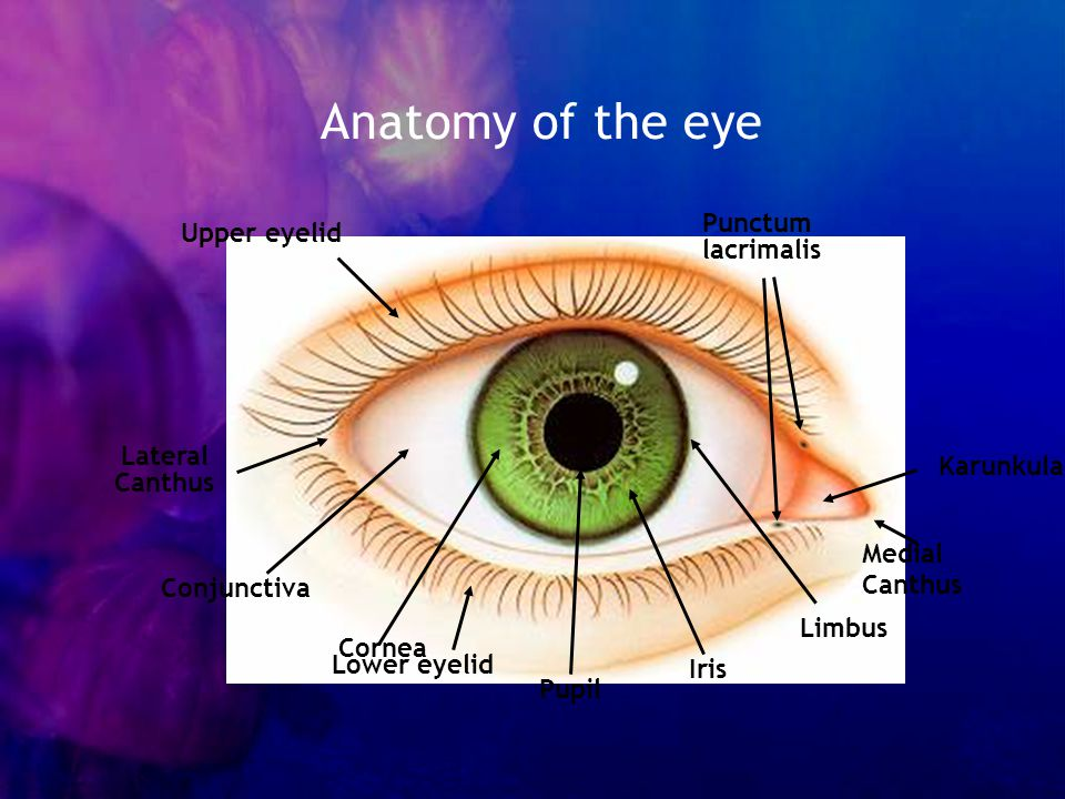 Anatomy of the eye Punctum Upper eyelid lacrimalis Lateral Canthus