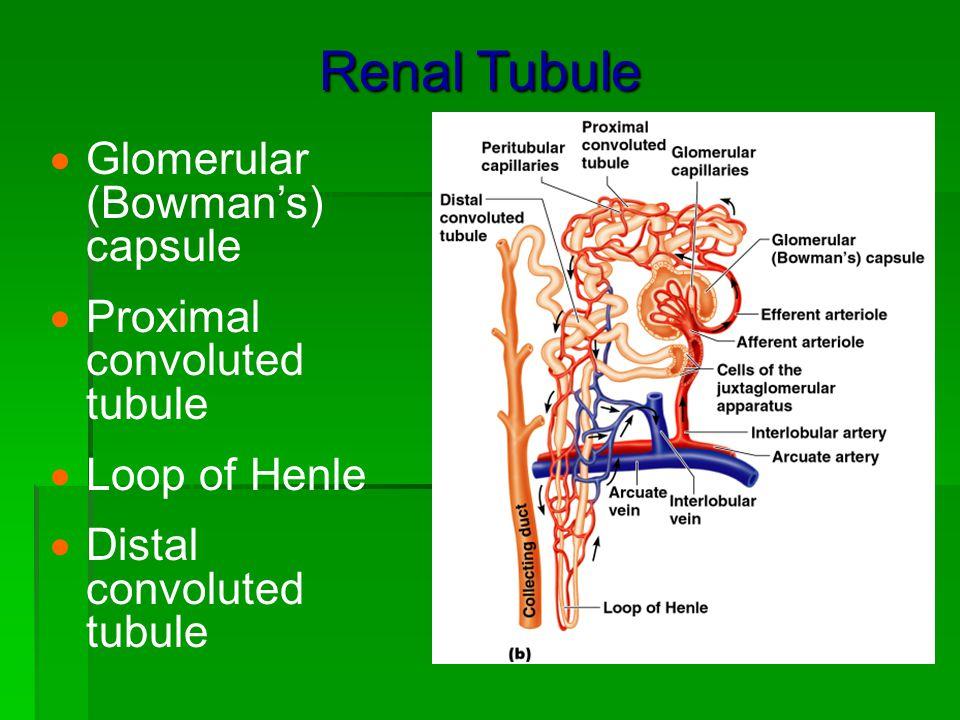 Renal Tubule Glomerular (Bowman's) capsule Proximal convoluted tubule