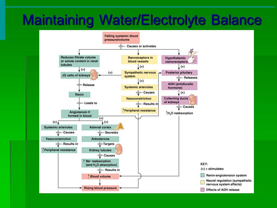 Maintaining Water/Electrolyte Balance