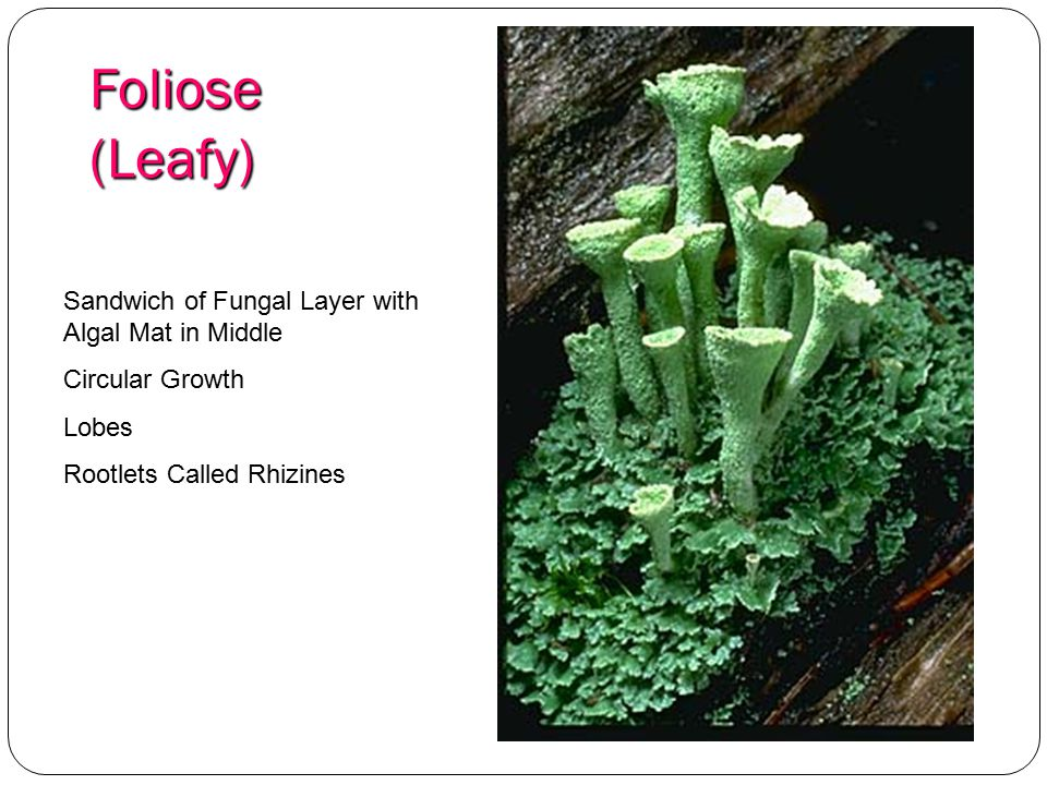 Foliose (Leafy) Sandwich of Fungal Layer with Algal Mat in Middle