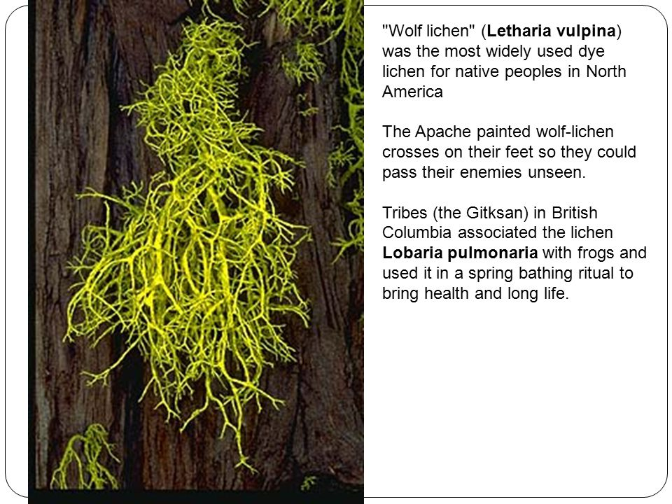 Wolf lichen (Letharia vulpina) was the most widely used dye lichen for native peoples in North America