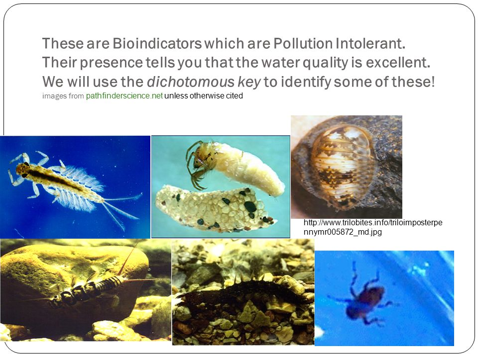 These are Bioindicators which are Pollution Intolerant