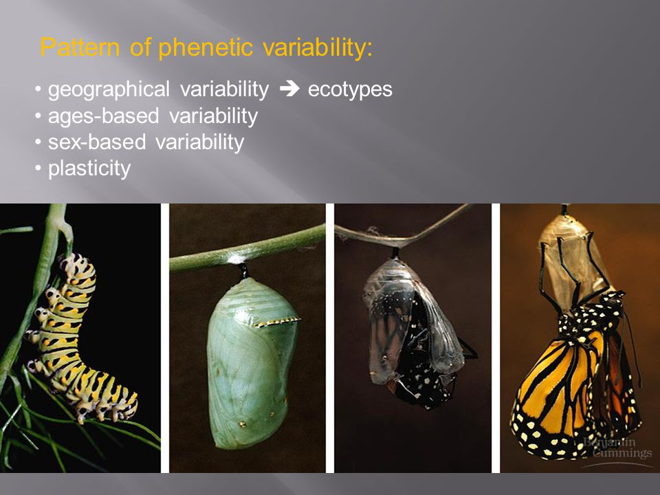 Pattern of phenetic variability: