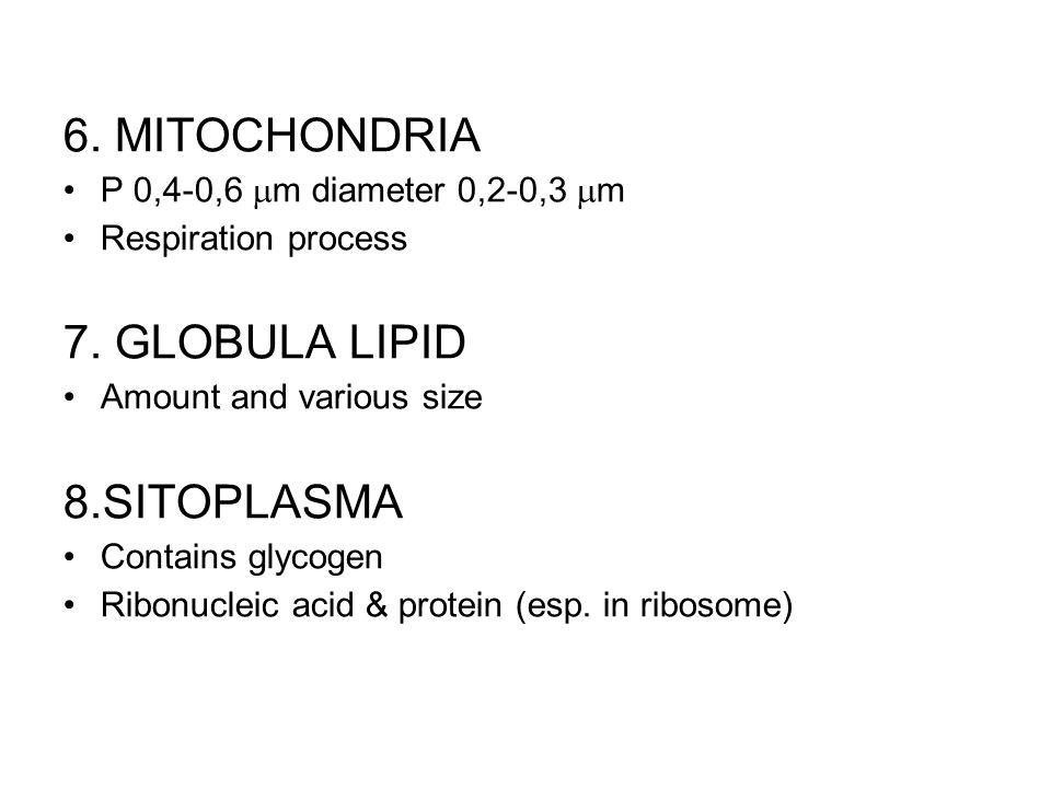 6. MITOCHONDRIA 7. GLOBULA LIPID 8.SITOPLASMA