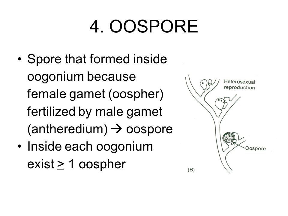 4. OOSPORE Spore that formed inside oogonium because