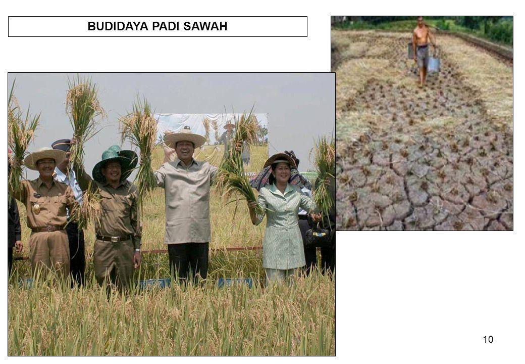 BUDIDAYA PADI SAWAH