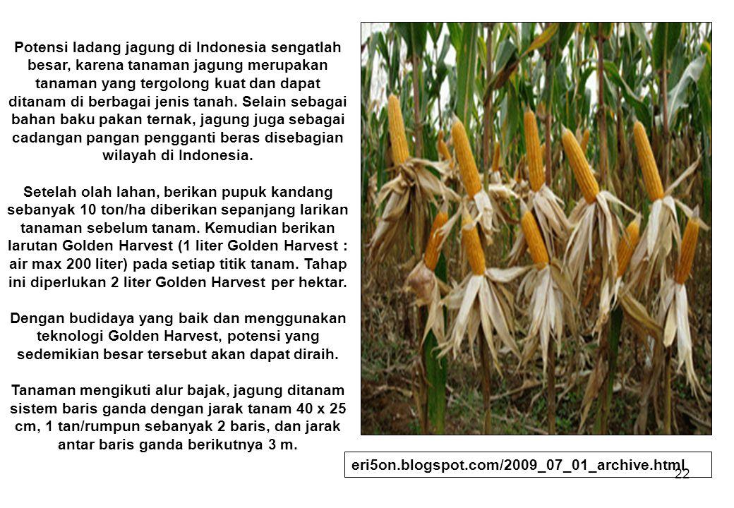 Potensi ladang jagung di Indonesia sengatlah besar, karena tanaman jagung merupakan tanaman yang tergolong kuat dan dapat ditanam di berbagai jenis tanah. Selain sebagai bahan baku pakan ternak, jagung juga sebagai cadangan pangan pengganti beras disebagian wilayah di Indonesia. Setelah olah lahan, berikan pupuk kandang sebanyak 10 ton/ha diberikan sepanjang larikan tanaman sebelum tanam. Kemudian berikan larutan Golden Harvest (1 liter Golden Harvest : air max 200 liter) pada setiap titik tanam. Tahap ini diperlukan 2 liter Golden Harvest per hektar. Dengan budidaya yang baik dan menggunakan teknologi Golden Harvest, potensi yang sedemikian besar tersebut akan dapat diraih. Tanaman mengikuti alur bajak, jagung ditanam sistem baris ganda dengan jarak tanam 40 x 25 cm, 1 tan/rumpun sebanyak 2 baris, dan jarak antar baris ganda berikutnya 3 m.