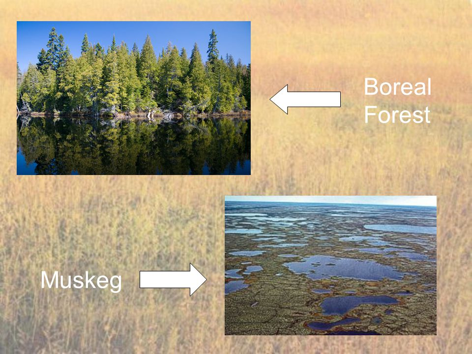 Boreal Forest Muskeg