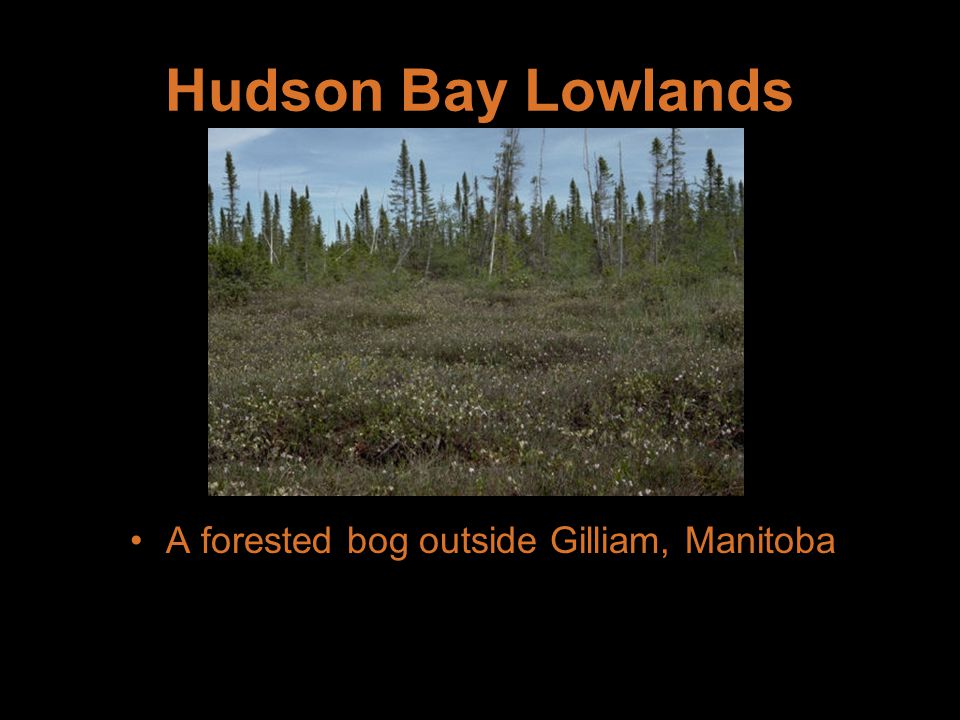 Hudson Bay Lowlands A forested bog outside Gilliam, Manitoba