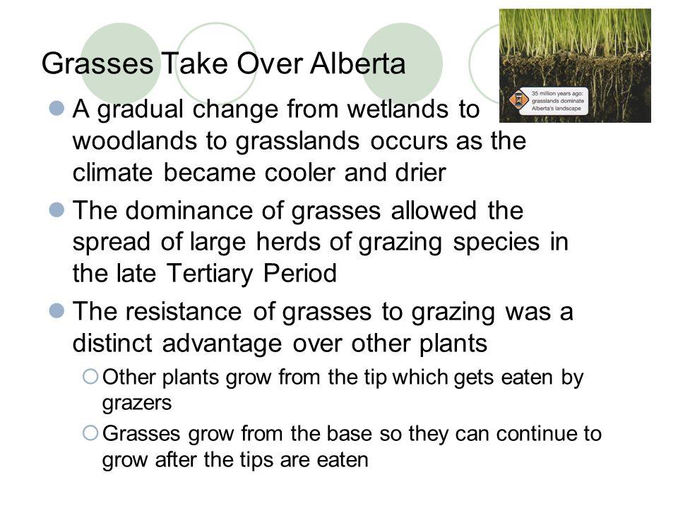 Grasses Take Over Alberta