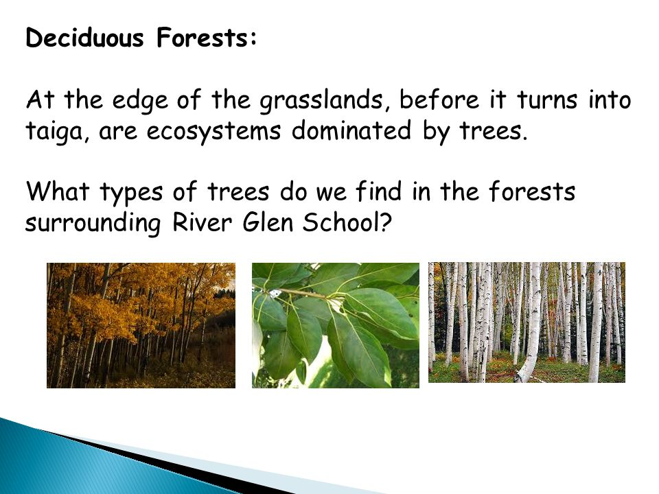 Deciduous Forests: At the edge of the grasslands, before it turns into taiga, are ecosystems dominated by trees.
