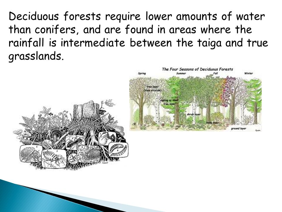 Deciduous forests require lower amounts of water than conifers, and are found in areas where the rainfall is intermediate between the taiga and true grasslands.