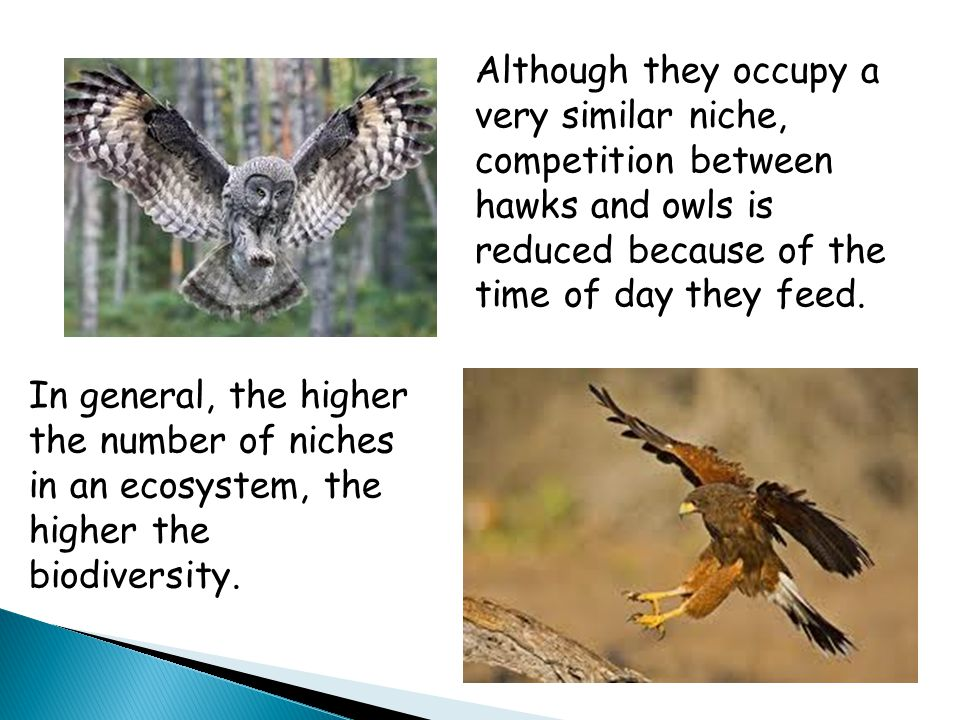 Although they occupy a very similar niche, competition between hawks and owls is reduced because of the time of day they feed.