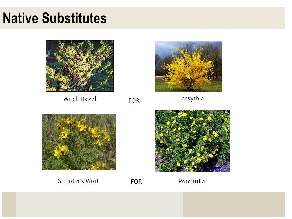 Native Substitutes Witch Hazel Forsythia FOR St. John's Wort FOR