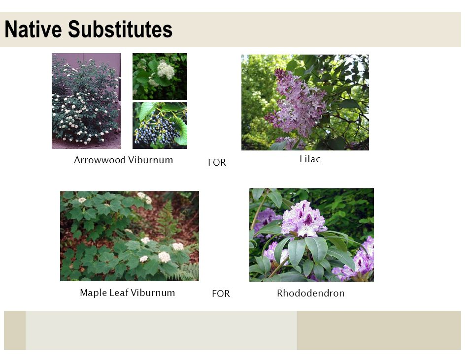 Native Substitutes Arrowwood Viburnum Lilac FOR Maple Leaf Viburnum
