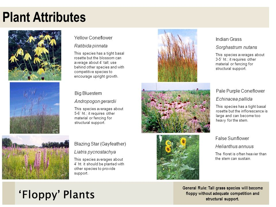 Plant Attributes 'Floppy' Plants Yellow Coneflower Indian Grass