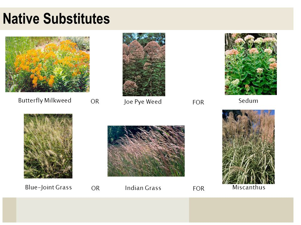 Native Substitutes Butterfly Milkweed OR Joe Pye Weed FOR Sedum
