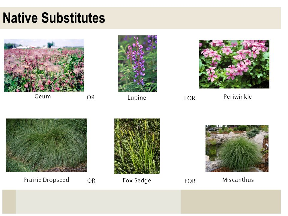 Native Substitutes Geum OR Lupine FOR Periwinkle Prairie Dropseed OR