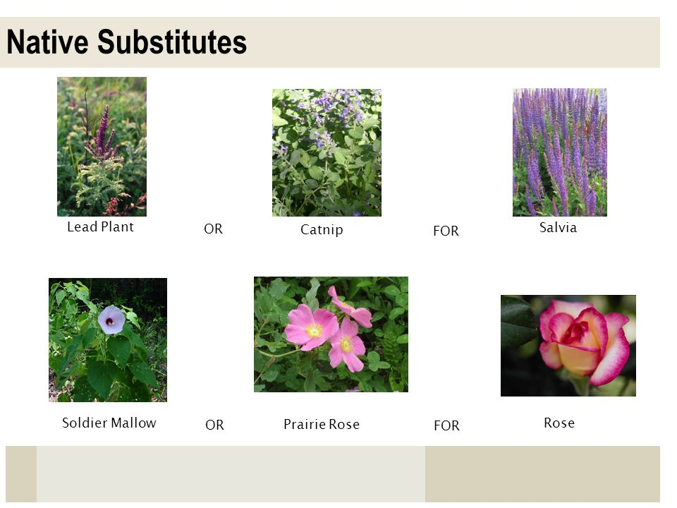 Native Substitutes Lead Plant OR Catnip FOR Salvia Soldier Mallow OR