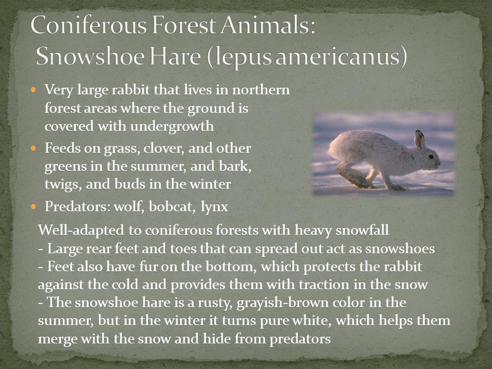 Coniferous Forest Animals: Snowshoe Hare (lepus americanus)