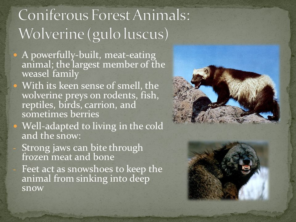 Coniferous Forest Animals: Wolverine (gulo luscus)