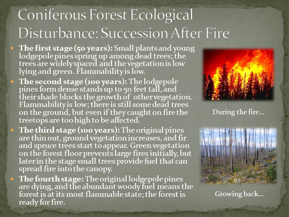 Coniferous Forest Ecological Disturbance: Succession After Fire