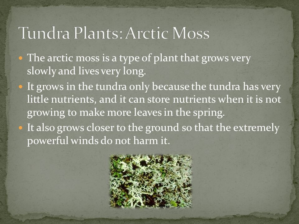 Tundra Plants: Arctic Moss